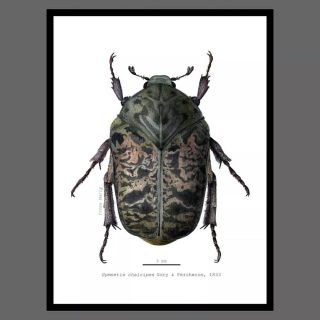 """Proiectul meu final pentru cursul de ilustrație științifică în entomologie, organizat de @academia.illustraciencia și susținut de dr. @julia_rouaux.  """"Our generation is the first to fully appreciate the threats facing millions of species, and the last generation with the opportunity to explore, describe and classify life on Earth so completely. Species that are literally ours for the taking will soon be inaccessible to science at any cost. What we accomplish in taxonomic work in this century will be a priceless legacy to all the generations of scientists, natural historians and educated humans that follow."""" - Q. D. Wheeler (2004)  DOI.org/10.1649/0010-065X-73.1.1  3/3 Gymnetis chalcipes Gory & Pecheron, 1833 *Acuarelă #kuretake #gansaitambi & #whitenights #nevskayapalitra pe hârtie #hahnemühle harmony, #hotpressed, 300gsm,  #illustraciencia #scienceillustration #graphite #ilustraentomologia #gymnetis #gymnetis_chalcipes #gymnetischalcipes  #entomology #entomologyillustration #naturalhistory #naturalhistoryillustration #naturelover #bugs #insects"""
