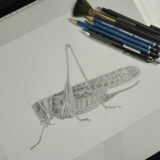Cineva începe să prindă formă. #newproject #decticusalbifrons #drawing #entomology #entomologyillustration #practice #scientificillustration #illustraciencia #ilustrationcientifica #ilustraentomologia  #graphite #study #orthoptera