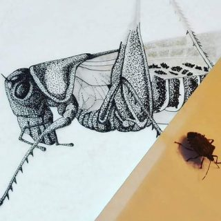 I have a visitor... And now I'm talking to bugs. I think it wants a portrait. 😅 #workingon #decticus #decticusalbifrons #ink #tinta #stippling #punteado  #entomology #entomologia #ilustraentomologia #practice #illustraciencia #scientificillustration #traditionalmedium