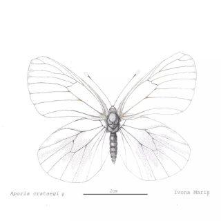 Aporiacrataegi sau Nălbar, după părerea mea, unul dintre cei mai frumoși fluturi din familia Pieridae, tocmai prin simplitatea și eleganța sa. Un fluture diurn prezent și în zona noastră, cu aripile de culoare albă și nervuri negre. Îl putem vedea în special în lunile iunie-iulie, uneori și mai, un fluture cu o anvergură a aripilor de 51 până la 70 mm. Adulții sunt sociali și îi putem zări uneori în grupuri mari în jurul unor bălți. Temuți în livezi pentru daunele pe care le pot provoca, larvele lor se găsesc mai ales pe arbuști din familia Rosaceae, cum ar fi  Crataegus (păducelul, de unde și numele), Prunus, Pyrus. Femelele sunt de obicei mai mari decât masculii, iar venele nu sunt în întregime negre. În plus, aripile femelei ajung aproape transparente după pierderea majorității solzilor în urma frecării. Nu este încă foarte clar de ce fac asta.  Factorii de amenințare pentru existența lor sunt în principal îndepărtarea arbuștilor și gardurilor vii din cauza extinderii terenurilor agricole.  Mulțumiri fotografului Redai Paul pentru 📷 de referință, clarificări și paginile scanate din cărți de specialitate care m-au ajutat să pot să (re)construiesc părțile mai afectate ale exemplarului etalat.   Mulțumiri domnului Csaba Vizauer, specialist în lepidoptere, pentru observațiile și clarificările extrem de utile.   Mulțumiri profesoarei mele @julia_rouaux care în continuare mă ajută cu sfaturi prețioase.   Sunt câteva inadvertențe subtile, vizibile doar ochilor formați în acest domeniu. Îmi aparțin. M-am tot gândit dacă să îi mai fac retușuri, dar pe original, făcut pe hârtie presată la cald, și nu pe hârtie vegetală să pot rade cu lama, nu prea mai am cum să intervin în stadiul ăsta. Aș putea digital, dar e păcat. Plus că mi-a prins bine să iau cât mai multe decizii singură de data asta, după capacitatea mea de înțelegere și observație.   Tuș pe hârtie acuarelă presată la cald, Hahnemühle Harmony 300g/mp, format A3. #aporiacrataegi #nalbar #pieridae #nalbar #butterfly #